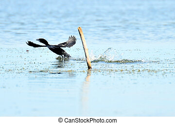 the cormorant fly and landing on lake