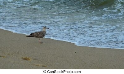 cormorant on the ocean runs shore of the bich - The...