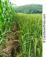 The corn field and Rice