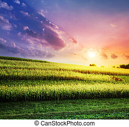 The corn field at a sunset