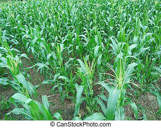 The corn field.