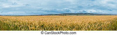 The corner of a wheat field - panorama