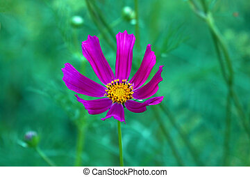 The Cosmos flower on a natural background