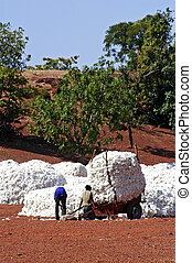 the cotton harvest by children in Burkina Faso
