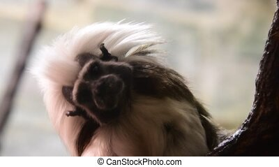 The cotton-top tamarin Saguinus oedipus is a small New World...