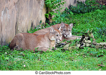 cougar - The cougar (Puma concolor), also known as puma, ...