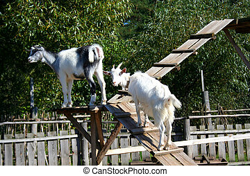 couple of young goats on the ladder