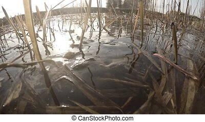 The courtship period in pond frogs. ?louseup