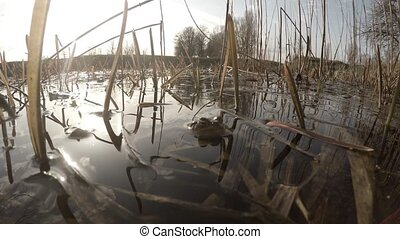 The courtship period in pond frogs - The courtship period in...
