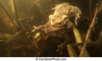 The courtship period in pond frogs.clouseup
