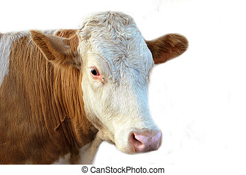 The Cow - Cow isolated over white background