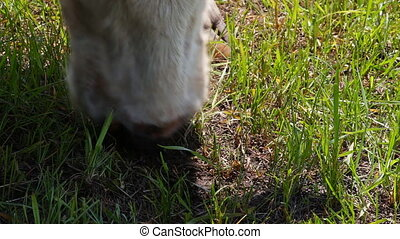 The cow eats the grass.