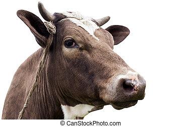 the cow head