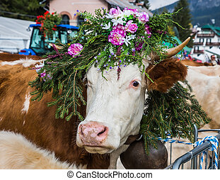 The cow is decorated with flowers - The most beautiful cow...