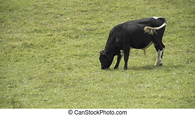 The cow is eating grass