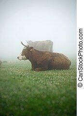 the cow portrait