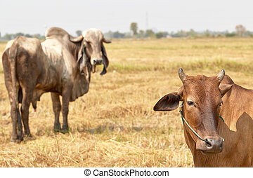 The cow Thailand