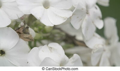 The crab spider crawling on the white flower