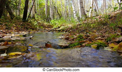 The creek flows through a sunny autumn birch forest. Follow focus