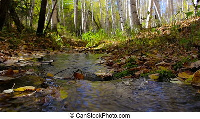 The creek flows through a sunny autumn birch forest. Peace, tranquility, harmony