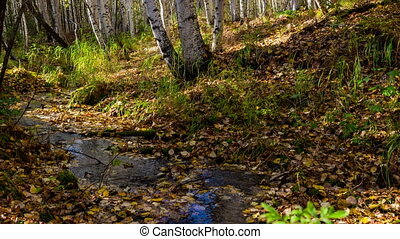 The creek flows through a sunny autumn birch forest. Time lapse. Movement