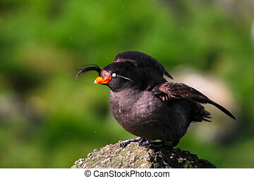 the Crested Auklet (Aethia cristatella) : breeding plumage. Commander islands