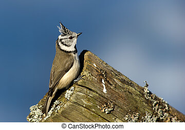 Crested Tit (Parus cristatus) on the edge