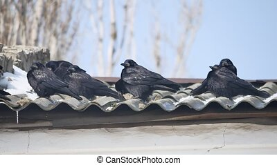 The crow sits on the roof of the house. a flock of black crows sit on the roof of the house bird outdoors