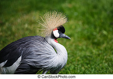 The crowned crane close up