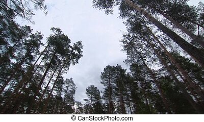 The crowns of trees. Forest. Vegetation around. - The crowns...