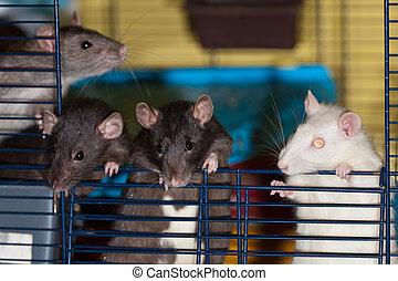The curious rats