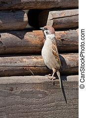 The curious sparrow