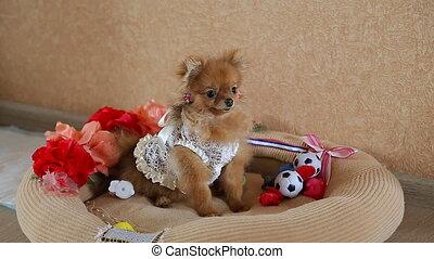 The cute Pomeranian dog
