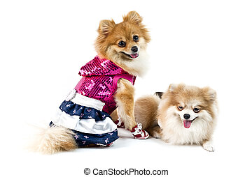 The cute Pomeranian dog over white