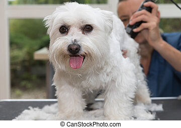 The cute white Maltese dog is in dog salon