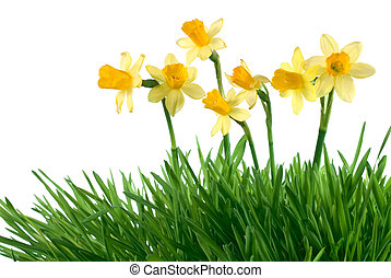 daffodils - the daffodils in green grass