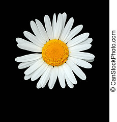 White and yellow ox eye daisy flower, isolated on a black background.