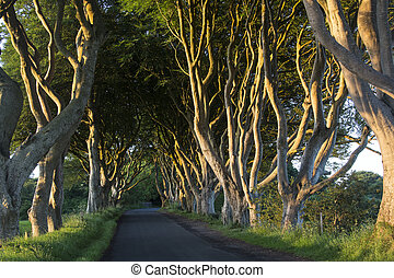 The Dark Hedges - County Antrim - Northern Ireland - Early ...