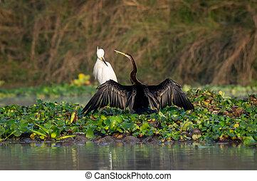 Darter or Snakebird or the Plotus anhinga Spreading its Wings