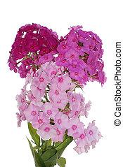 The decorative garden summer flower