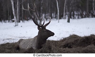 the deer lies on the huy in winter