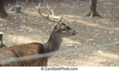 the Deer walking at forest