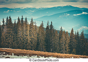 The dense coniferous forests in Bukovel, Ukraine