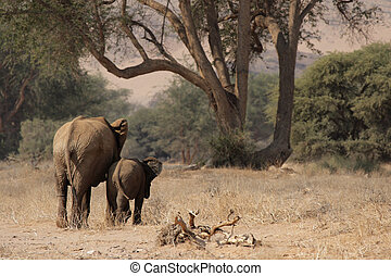 The desert Elephants of northern Namibia are perfectly adapted to a living in their very dry territory; this shot was taken in the dry riverbed of the Huab River, Damaraland.