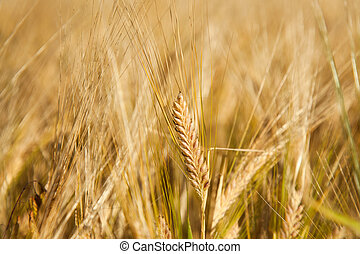 cornfield - the detail of a cornfield