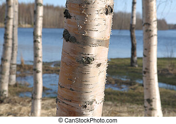 The detail of the bark of the birch tree