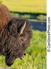 The detail of typical American Bison