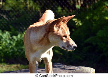 The dingo or Canis Lupus is a free-ranging dog