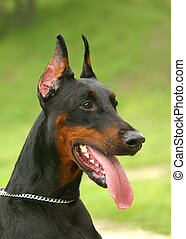 The Doberman Pinscher (alternatively spelled Dobermann in many countries) or Doberman is a breed of domestic dog. Dobermann Pinschers are among the most common of pet breeds, and the breed is well known as an intelligent, alert, and loyal companion dog. Although once commonly used as guard dogs, ...