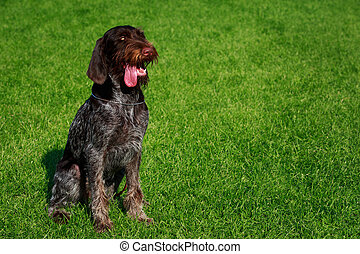 The dog breed Drahthaar seats on a green grass
